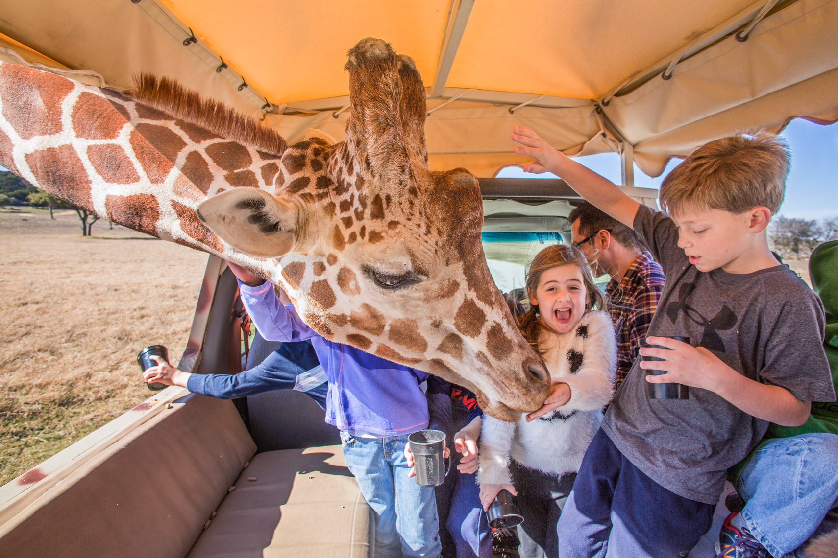 1030Feeding Giraffe, Fossil Rim Wildlife Center, Glen Rose, Texas