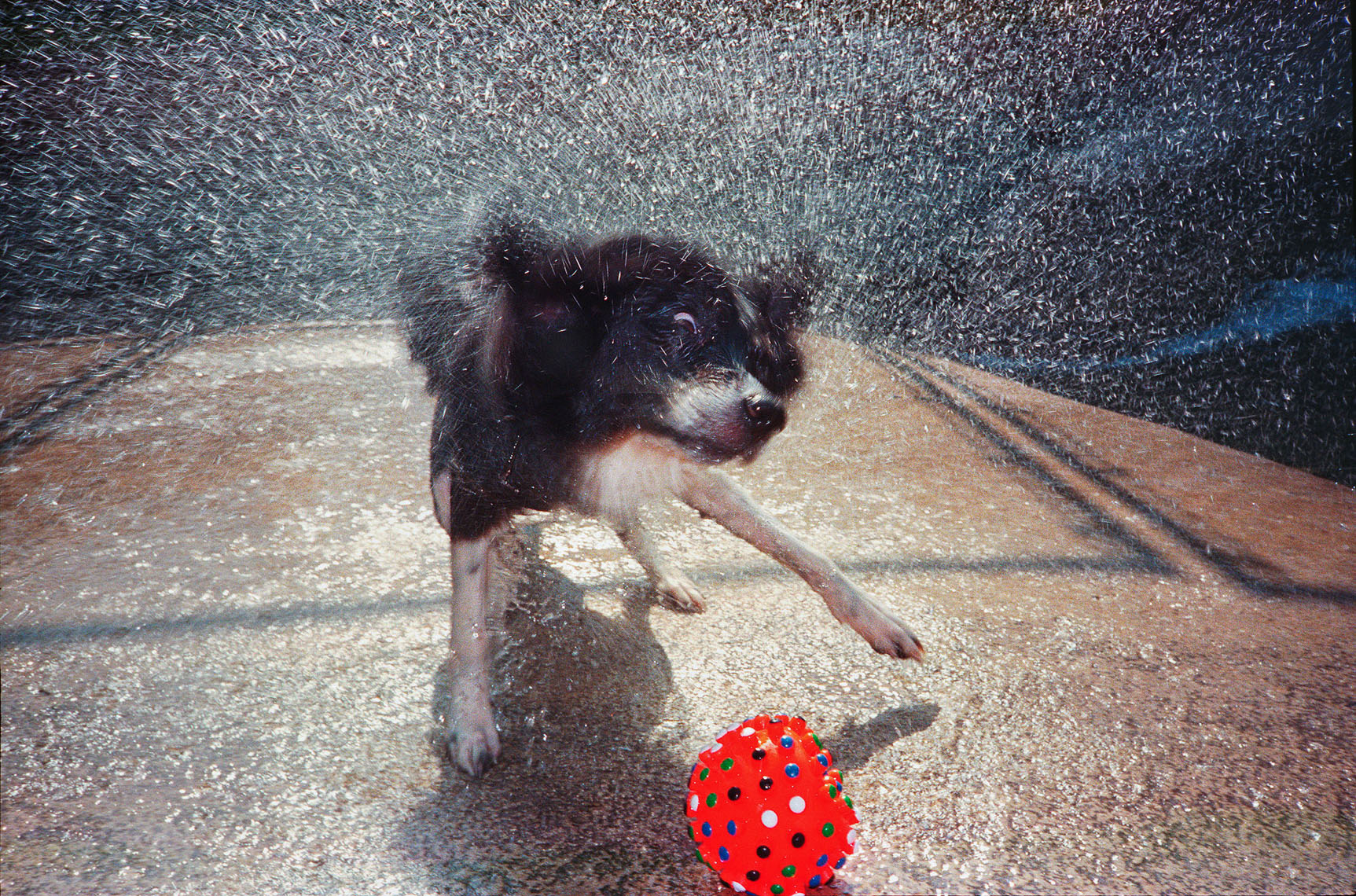 1163Wet dog shaking off, red ball